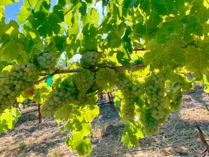 Viognier at Tablas Creek Winery